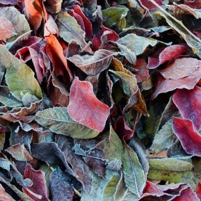 Herbst_frost_blatt